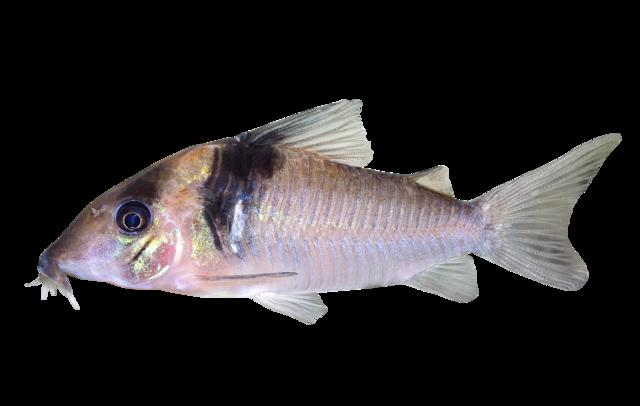 Miguelito-pansarmal