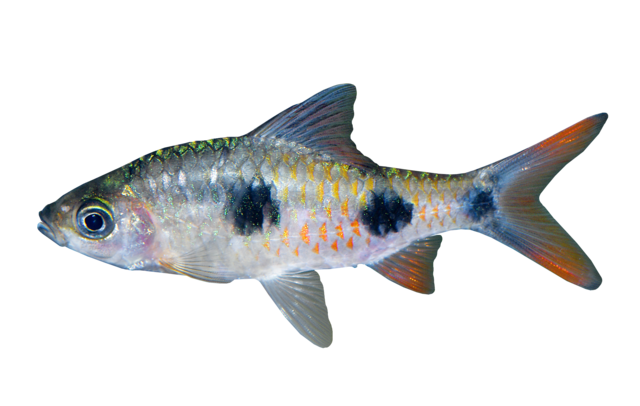 Indian barb