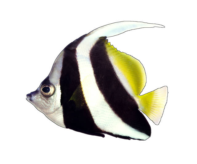 Piskfisk