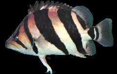 Siamesisk tigerfisk