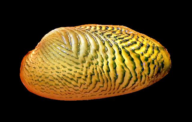 Scribbled Mussel